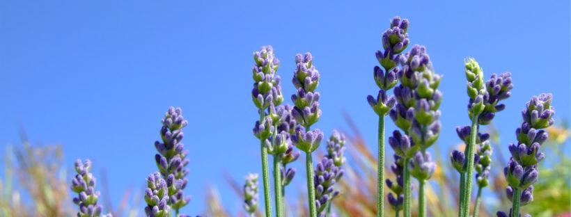 Walla Walla Lavender